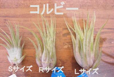 着生植物 エアープランツ チランジア イオナン...の紹介画像3