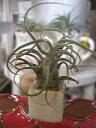 着生植物 エアープランツ チランジア プルノイーサ Rサイズ癒しの観葉植物 観葉植物 インテリア おしゃれ かっこいい インテリアグリーン