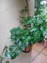 観葉植物 つる性 シッサス エレンダニカ 5号サイズハンギングポット