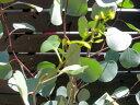ユーカリ ポポラス ポリアンセモス(シルバーダラーガム)常緑樹 7寸仕立て苗木 シンボルツリー【送料込み】