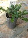 常緑低木 グレビレア ラニゲラ 3寸苗木