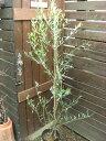 耐寒性常緑樹 オリーブ 『コロネイキ』 ラベル付き7号苗木  シンボルツリー 地中海 ギフト お祝い 縁起のいい樹