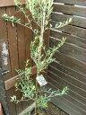 耐寒性常緑樹 オリーブ 『ネバディロブランコ』 ラベル付き7号苗木  シンボルツリー 地中海 ギフト お祝い 縁起のいい樹