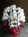 胡蝶蘭(白花、5本立ち)