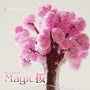 マジック桜【マジックサクラ】【10P27May16】