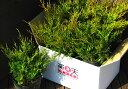 楽天ファインガーデンオールドゴールド6本セット【コニファー 北欧スタイル グランドカバー 寄せ植え 常緑樹 低木 コニファー販売 ガーデニング】