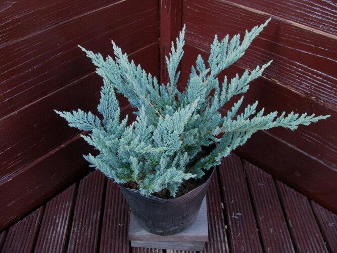 ブルーチップコニファー北欧スタイルグランドカバー寄せ植え常緑樹低木コニファー販売植木ガーデニング