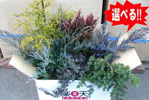 グランドカバー選べる6鉢セットコニファー北欧スタイル植木庭木グランドカバー寄せ植え常緑樹低木コニファ