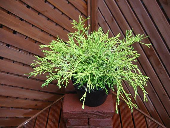 ゴールデンモップコニファー北欧スタイル庭木常緑樹低木寄せ植えグランドカバーガーデニング