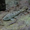 (熱帯魚 プレコ)ブロンズプレコ(約5cm)(1匹)【水槽/...