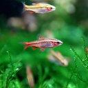 (熱帯魚 生体)チェリーバルブ(約1.5-2cm)(5匹)【水槽/熱帯魚/観賞魚/飼育】【生体】【通販/販売】【アクアリウム】