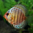 (熱帯魚 ディスカス)レッドロイヤルブルーディスカス(タイ産...