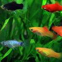 (熱帯魚 生体)ミックスプラティ(雌雄指定、種類指定不可) (約3-3.5cm)(4匹)【水槽/熱帯 ...