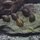 (サマーセール)(貝)シマカノコ貝(4匹)【水槽/熱帯魚/観賞魚/飼育】【生体】【通販/販売】【アクアリウム】