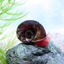 (貝)レッドラムズホーン (約1cm)(3個)【水槽/熱帯魚/観賞魚/飼育】【生体】【通販/販売】【アクアリウム】