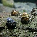 (貝)カバグチカノコ 貝(約2cm)(6匹)【水槽/熱帯魚/...