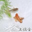 (金魚 生体)土佐金(約5cm)(1匹)【水槽/熱帯魚/観賞魚/飼育】【生体】【通販/販売】【アクアリウム/あくありうむ】