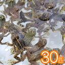 (両生類)アジアウキガエル(約3cm)(30匹)【水槽/熱帯魚/観賞魚/飼育】【生体】【通販/販売】【アクアリウム】