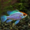 (熱帯魚)ゴールドヘッドコバルトブルーラミレジ(約3cm)(1匹)【水槽/熱帯魚/観賞魚/飼育】【生体】【通販/販売】【アクアリウム】