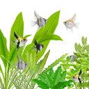 (熱帯魚)外国産ミックスエンゼルフィッシュ(約1.5-3cm)<5匹>  【再入荷】【水槽/熱帯魚/