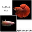 (熱帯魚)ベタ デルタテール【水槽/熱帯魚/観賞魚/飼育】【生体】【通販/販売】【アクアリウム】