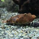 (熱帯魚)テトラオドン ミウルス (約3cm)(1匹)【水槽/熱帯魚/観賞魚/飼育】【生体】【通販/販売】【アクアリウム】