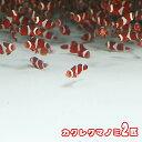 (海水魚)( オススメ)カクレクマノミ ( ブリード ) (2匹)【水槽/熱帯魚/観賞魚/飼育】【生体】【通販/販売】【アクアリウム】