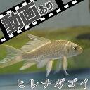 (金魚)ヒレナガゴイ(約8-10cm)(1匹)【水槽/熱帯魚/観賞魚/飼育】【生体】【通販/販売】【