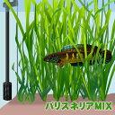 (水草)バリスネリア MIX 50本 【水槽/熱帯魚/観賞魚/飼育】【生体】【通販/販売】【アクアリウム/あくありうむ】