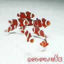 (海水魚)( オススメ)カクレクマノミ ( ブリード ) (5匹)【水槽/熱帯魚/観賞魚/飼育】【生体】【通販/販売】【アクアリウム】