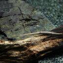 (熱帯魚 生体)ファロウェラ(約5cm)(1匹)【水槽/熱帯魚/観賞魚/飼育】【生体】【通販/販売】【アクアリウム】