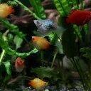 (熱帯魚)ミックスバルーンプラティ(約2cm)【水槽/熱帯魚/観賞魚/飼育】【生体】【通販/販売】【アクアリウム】