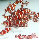 (海水魚)( オススメ)カクレクマノミ ( ブリード ) (10匹)【水槽/熱帯魚/観賞魚/飼育】【生体】【通販/販売】【アクアリウム】