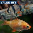(熱帯魚)【バリューセット】スマトラ(約2cm)(5匹) + 白スマトラ(約2cm)(5匹)【水槽/