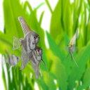 (熱帯魚 生体)外国産ミックスエンゼルフィッシュ M(約4-...