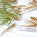 (日淡)ヒメダカ(約2cm)(50匹)【水槽/熱帯魚/観賞魚...