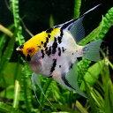 (熱帯魚)ミックスエンゼルフィッシュ L(約6-8cm)【水槽/熱帯魚/観賞魚/飼育】【生体】【通販/販売】【アクアリウム】