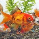 (金魚)ミックス金魚(約5cm)(5匹)【水槽/熱帯魚/観賞魚/飼育】【生体】【通販/販売】【アクアリウム】