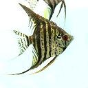 (熱帯魚)ゼブラレースエンゼル(約4cm)<3匹>  【水槽/熱帯魚/観賞魚/飼育】【生体】【通販/