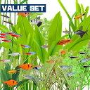 (熱帯魚 生体)【バリューセット】5種類以上入っています おまかせカラシン&ラスボラ&バルブ(約1. ...