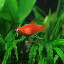 (熱帯魚)レッドプラティ(約3-3.5cm)【水槽/熱帯魚/観賞魚/飼育】【生体】【通販/販売】【アクアリウム】