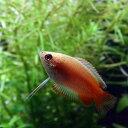水槽 熱帯魚 ▼ゴールデンハニードワーフグラミー(約2cm)<3匹>