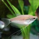 (熱帯魚)パールグラミー(約5cm)(3匹)【水槽/熱帯魚/観賞魚/飼育】【生体】【通販/販売】【アクアリウム】