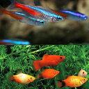 (熱帯魚)ネオンテトラ SMサイズ(約2cm) (15匹) + ミックス プラティ (約3-3.5c