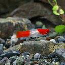 (熱帯魚)アルビノ紅白ソードテール(約3-4cm)(1匹)【水槽/熱帯魚/観賞魚/飼育】【生体】【通販/販売】【アクアリウム】