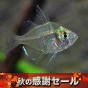 (スーパーセール)(熱帯魚 生体)グラスエンゼルフィッシュ(...