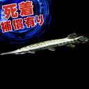 (熱帯魚)スポッテッドガー(約6-10cm)(1匹)【水槽/熱帯魚/観賞魚/飼育】【生体】【通販/販売】【アクアリウム】