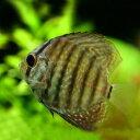 (熱帯魚 ディスカス)ブラウンディスカス...