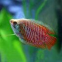 (熱帯魚)ドワーフグラミー (約4cm)<1ペア>【水槽/熱帯魚/観賞魚/飼育】【生体】【通販/販売】【アクアリウム】