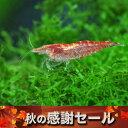 (スーパーセール)(エビ)レッドチェリーシュリンプ(約1.5cm)(6匹)【水槽/熱帯魚/観賞魚/飼育】【生体】【通販/販売】【アクアリウム】